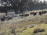 Котные овцы